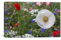 White poppy wild flower garden, Canvas Print