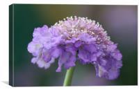 Closeup purple flower - Scabious, Canvas Print