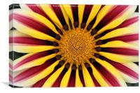 Gazania striped flower red yellow, Canvas Print