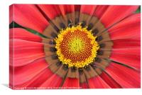 Red gazania flower yellow center, Canvas Print