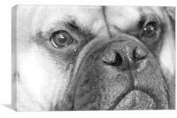 Bull mastiff dog black and white, Canvas Print