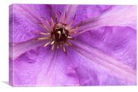 Purple clematis flower closeup, Canvas Print
