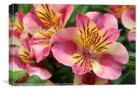 Stripey pink flower, Canvas Print