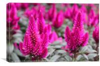 Crazy pink spikey flower, Canvas Print
