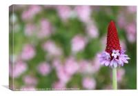 Red spikey primula flower, Canvas Print