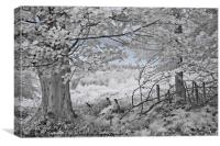 The Sycamore Tree - Infrared, Canvas Print