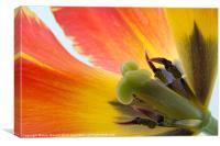 Tiger Tulip, Canvas Print
