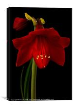 Red Amaryllis - 5, Canvas Print