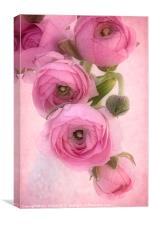 Pink Ranunculus, Canvas Print