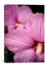Pink Hibiscus, Canvas Print