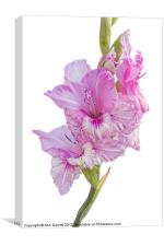 Pink Gladiolus, Canvas Print