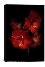 Scarlet Amaryllis, Canvas Print