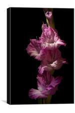 Pink Gladiola on Black, Canvas Print