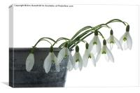 Snowdrops in a Planter