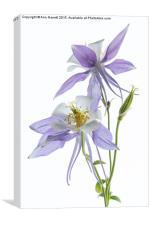 Lilac Aquilegia, Canvas Print
