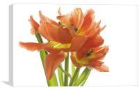Tulip Swirl, Canvas Print
