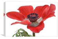 Red Anemone On White, Canvas Print