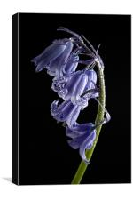 Bluebell Raindrops, Canvas Print