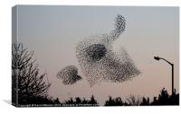 STARLING MURMURATION, Canvas Print