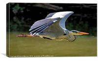 HERON IN FLIGHT, Canvas Print