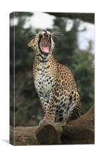 leopard yawning, Canvas Print