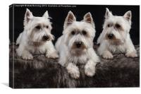 Three West Highland White Terriers, Canvas Print