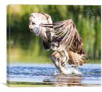 Osprey catch, Canvas Print