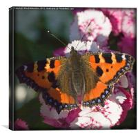Small Tortoise Shell Butterfly, Canvas Print
