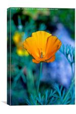 Californian Poppy - A Study in Gold, Canvas Print
