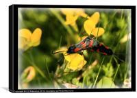 Six-Spot Burnet Moths, Canvas Print