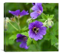Blue Geranium and Bee