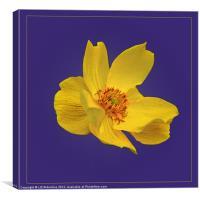 Yellow Globe Flower on Blue, Canvas Print