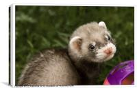 Young Ferret, Canvas Print