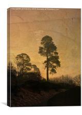 Scots Pine, Canvas Print