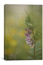 The Cottage Garden Vetch, Canvas Print