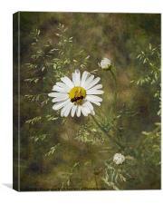 Oxeye Daisy, Canvas Print