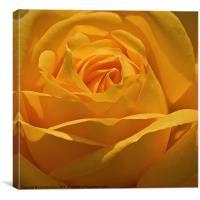 Golden Rose, Canvas Print