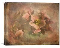 Hellebores, Canvas Print