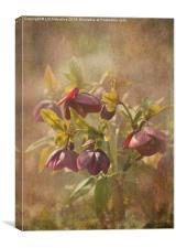 Sunlit Hellebores, Canvas Print