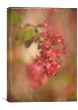 Ribes in April, Canvas Print