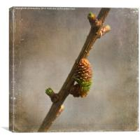 Larch in Spring, Canvas Print