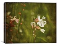 White Campion, Canvas Print