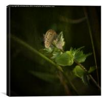 Glimpse of a Ringlet Butterfly, Canvas Print