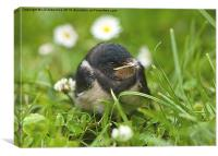 The Smallest Swallow, Canvas Print