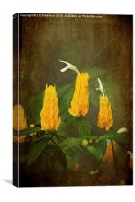 Golden Shrimp Plant, Canvas Print