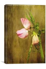Pink Sweet Pea, Canvas Print