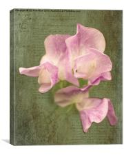 Sweet Pea in Pink, Canvas Print