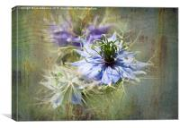 Love in a Mist , Canvas Print