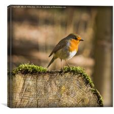The Robin, Canvas Print