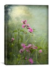 Red Catchfly (Campion), Canvas Print